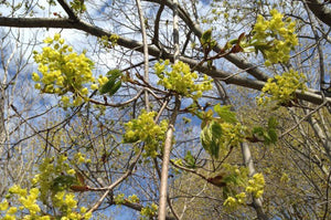 Another way to celebrate spring is with Norway Maple