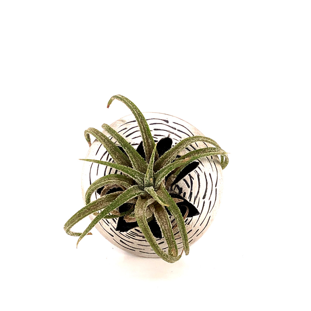 Air Plant Ring