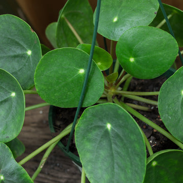 Chinese Coin Plant (Pilea peperomioides)