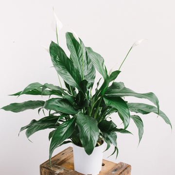 Peace Lily (Spathiphyllum) 140mm