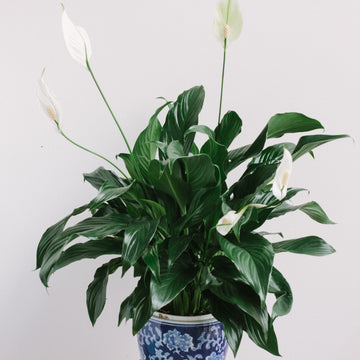 Peace Lily (Spathiphyllum) 175mm