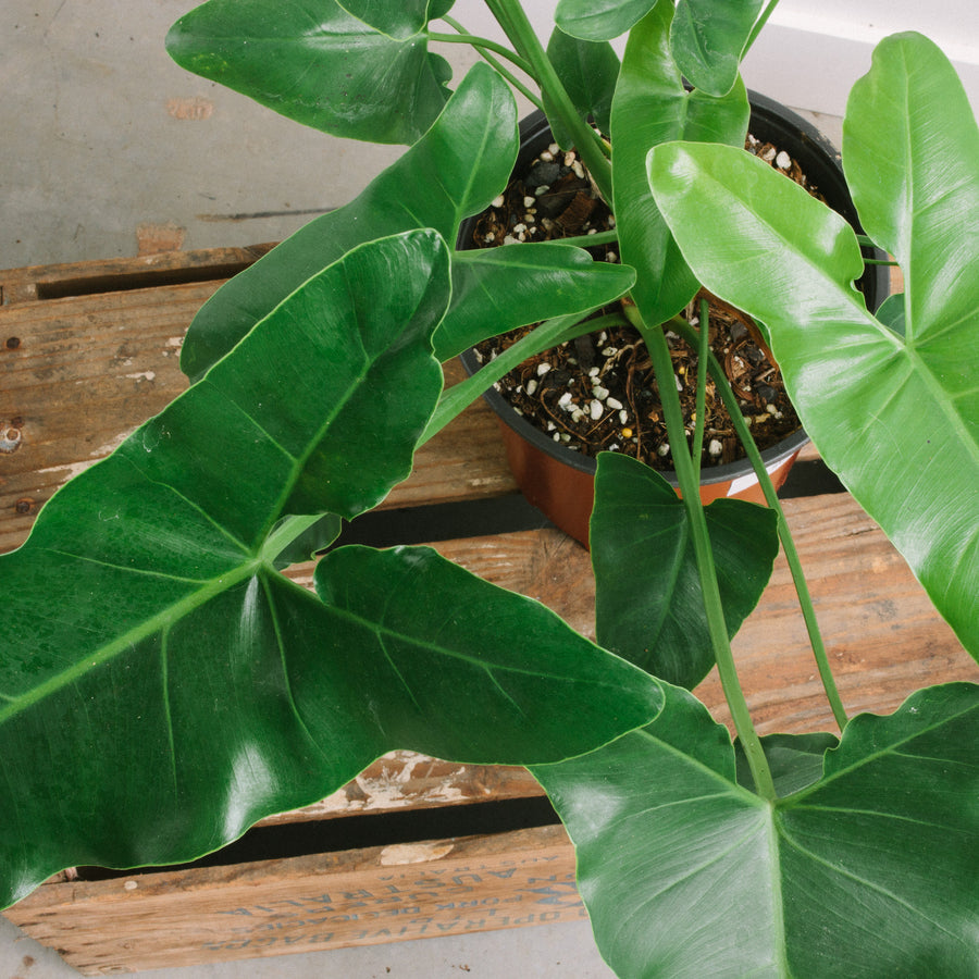 Philodendron stenolobium 190mm