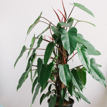 Philodendron 'Red Wings' (300mm totem)