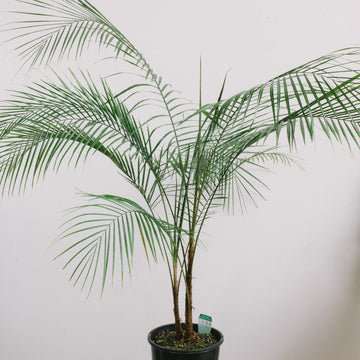 Wedding Palm (Lytocaryum weddellianum) 200mm