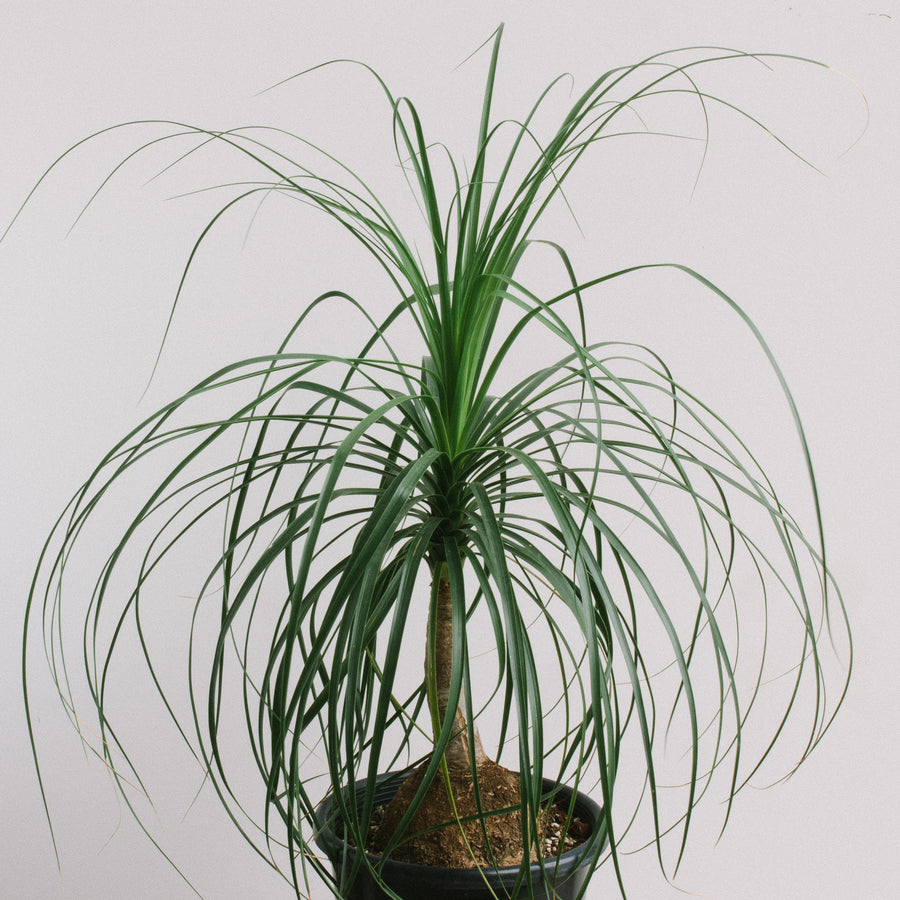 Ponytail Palm (Beaucarnea recurvata) 250mm