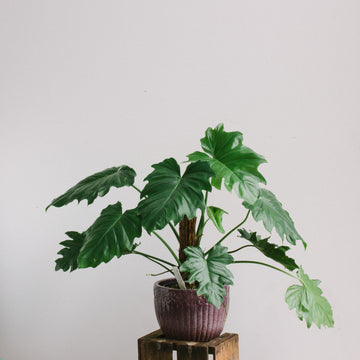 Philodendron (unknown species, 190mm totem)