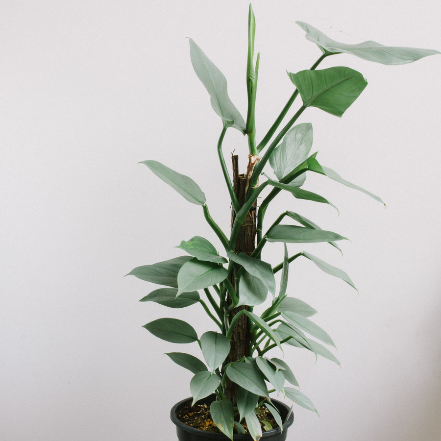 Philodendron hastatum 'Silver Sword' (250mm totem)