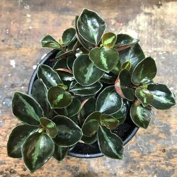 Peperomia 'Galaxy' (P. metallica) 130mm