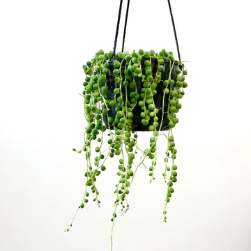 String of Pearls (Senecio rowleyanus) 130mm