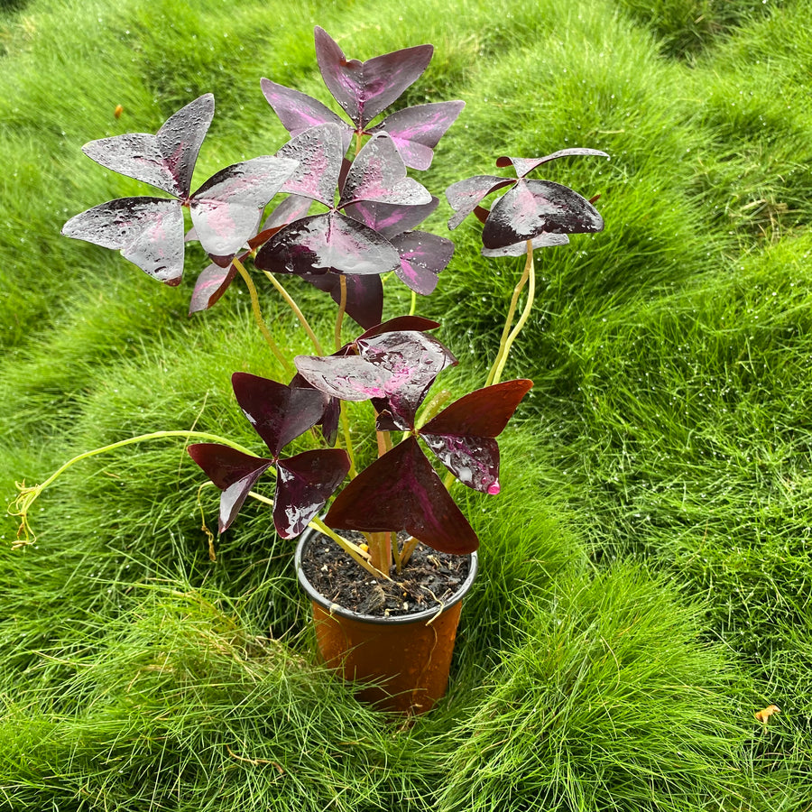 Purple Shamrock Plant (Oxalis triangularis)