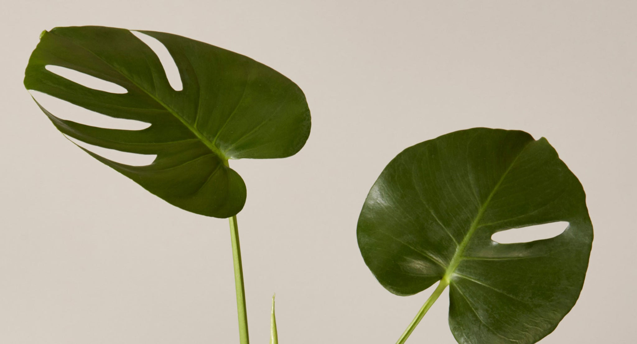 How To Care For Monstera Plant Care Articles How Tos The Sill