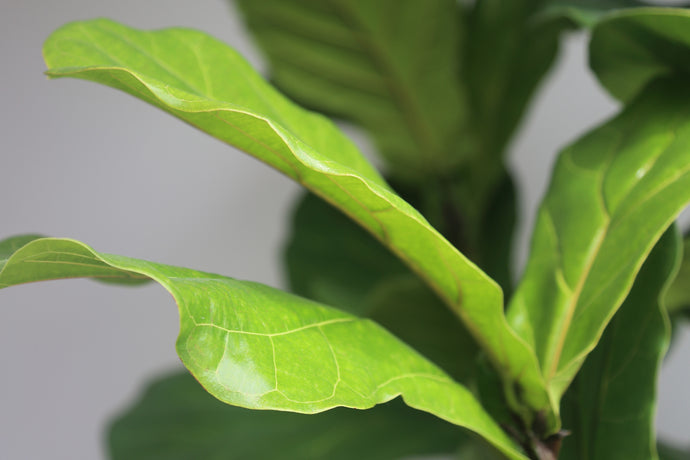 Fiddle Me This: Caring for a Fiddle Leaf Fig