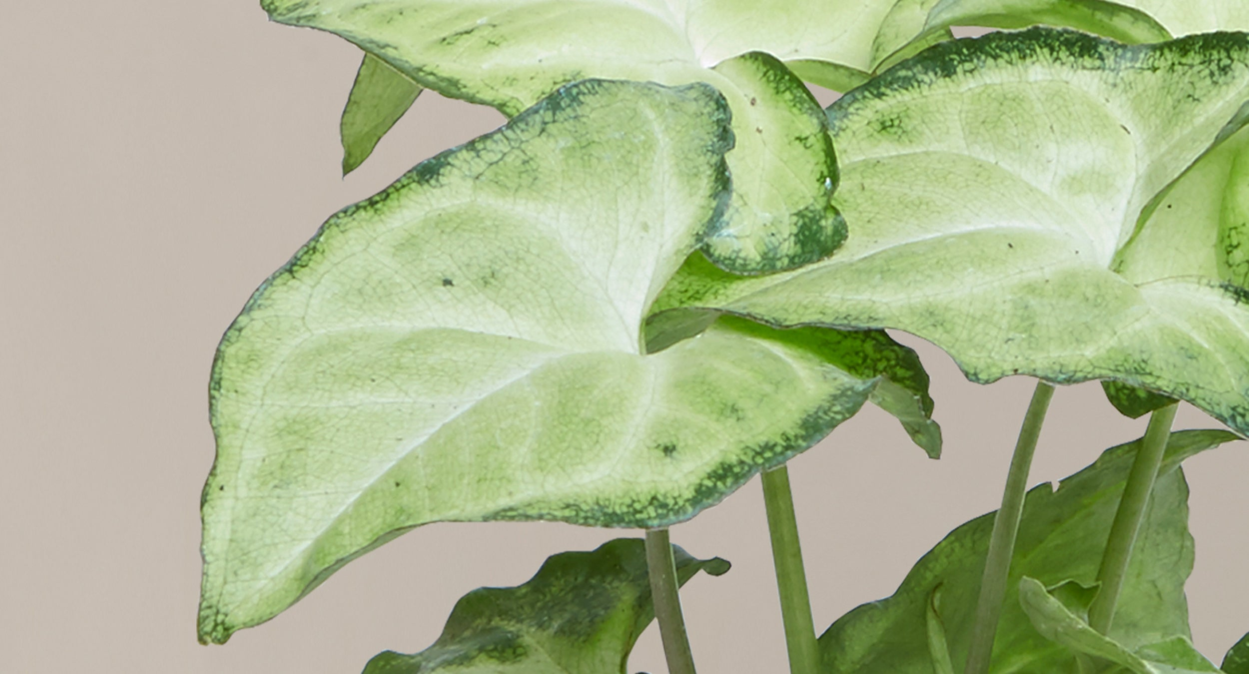 How To Care For The Arrowhead Plant Plants 101 The Sill