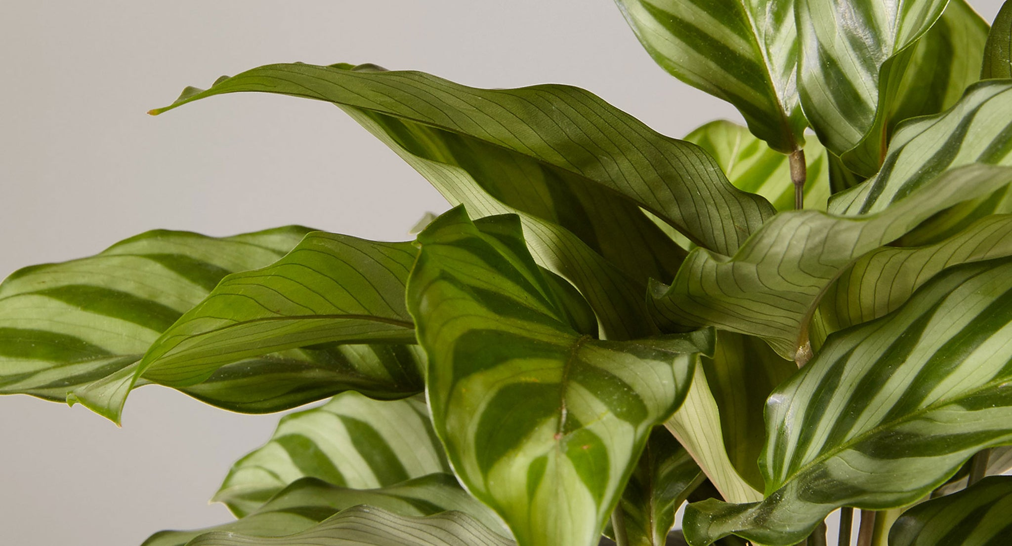 How To Care For Calatheas Plant Care Articles How Tos The Sill