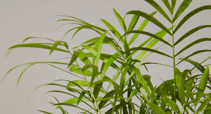 C is for Calathea | Plant Care and Tips – The Sill