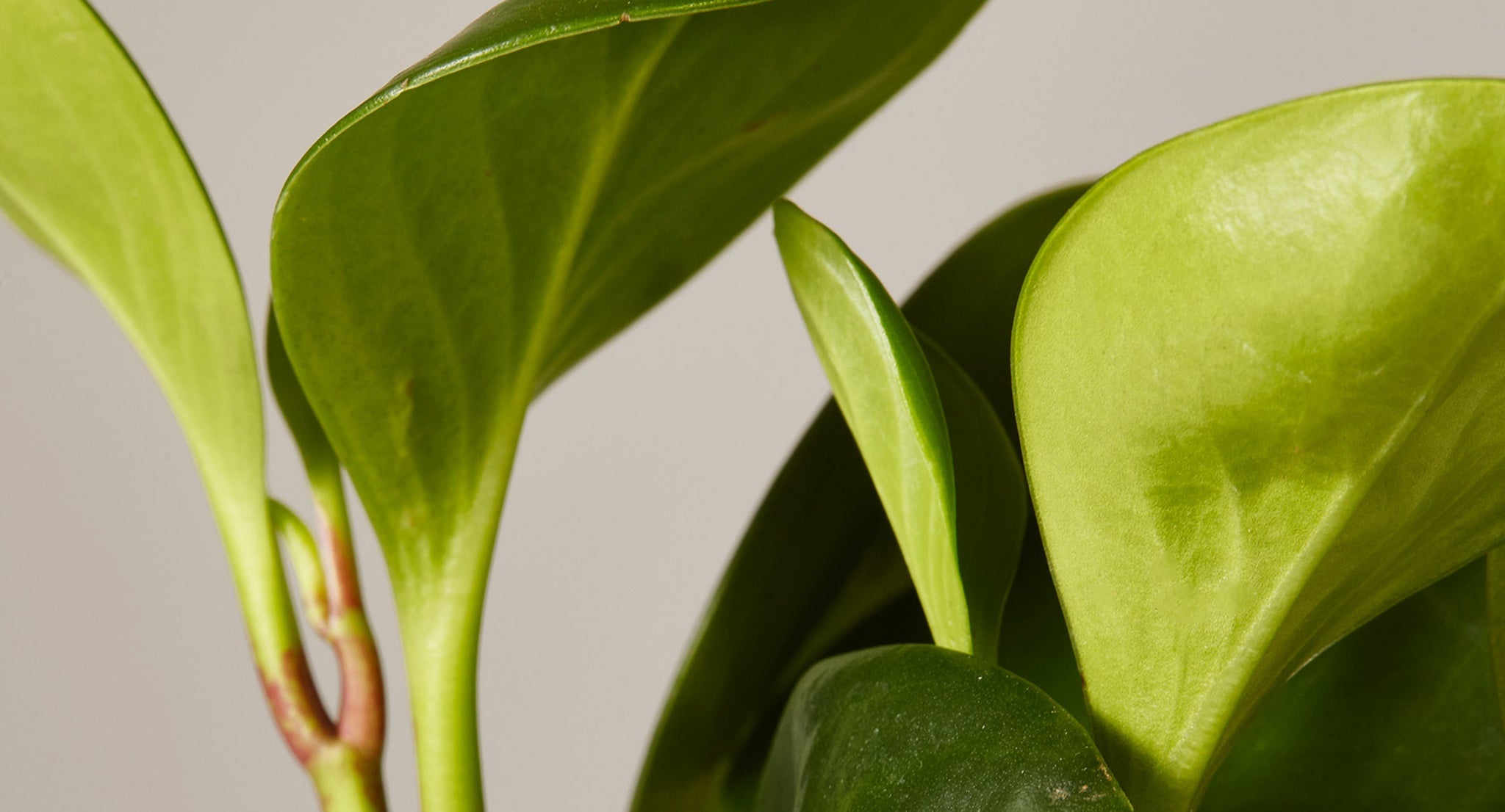 How To Care For The Peperomia Obtusifolia Plants 101 The Sill