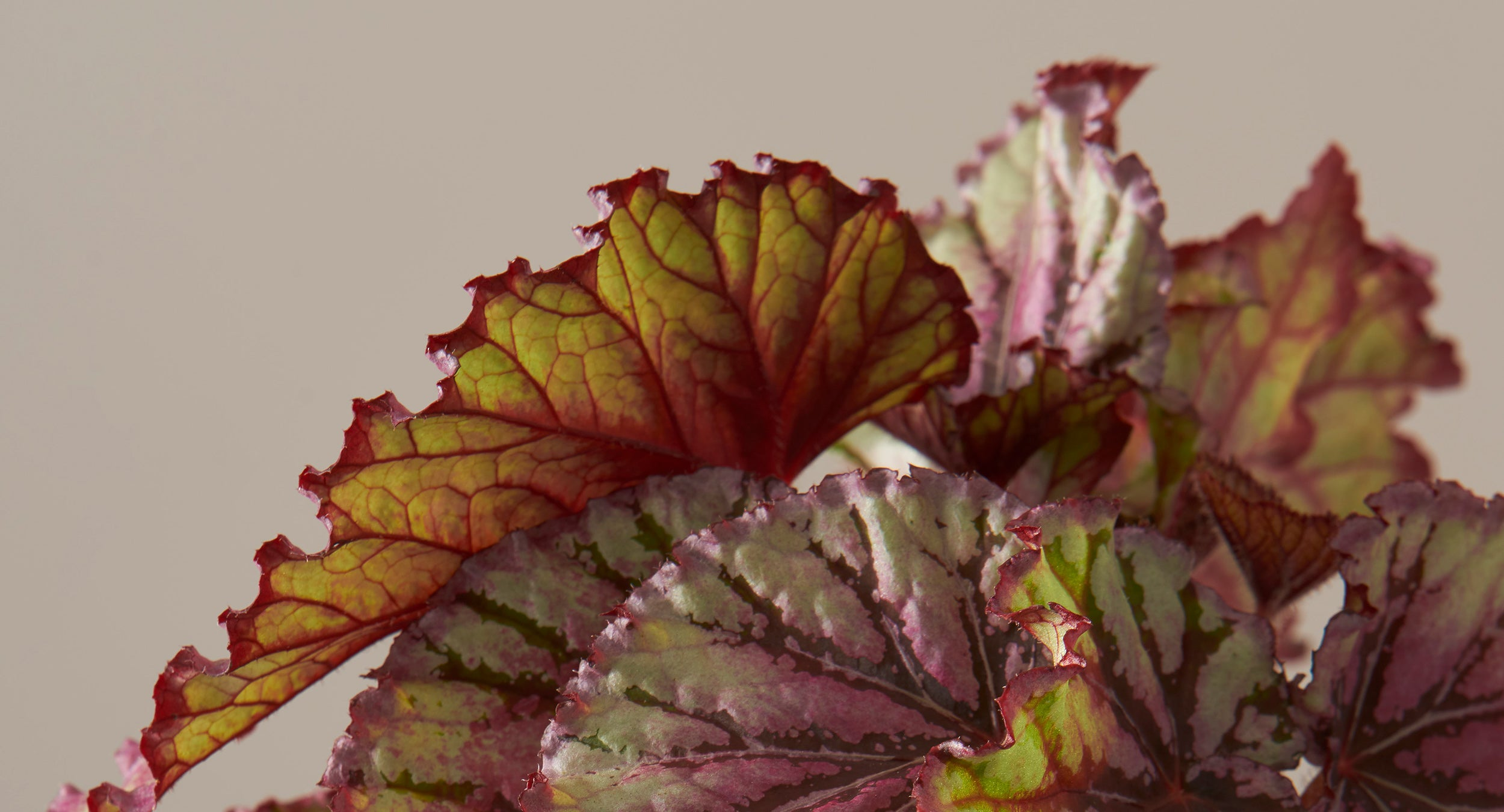 How To Care For The Rex Begonia Plants 101 The Sill