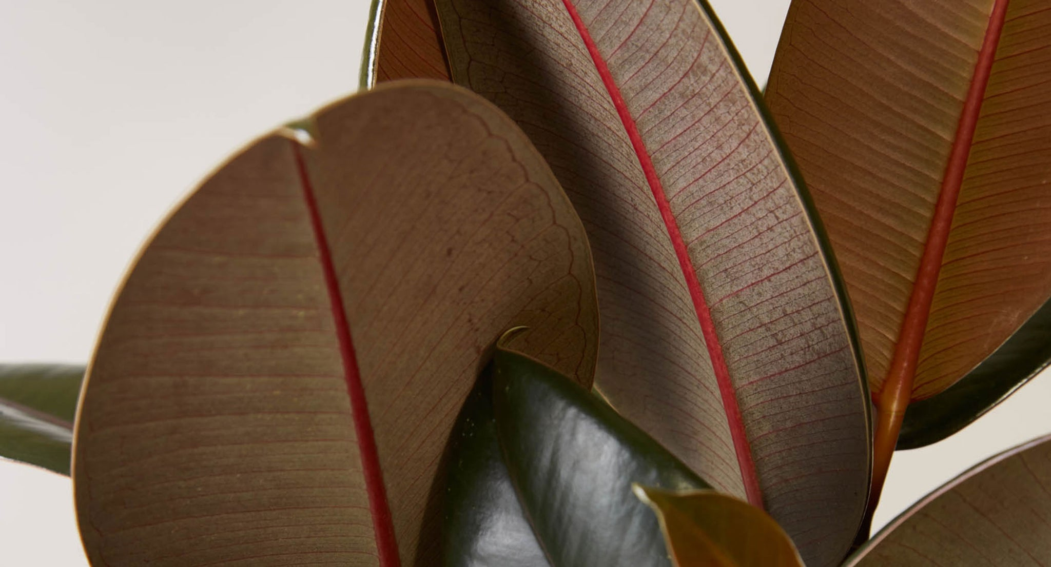 How To Care For Rubber Tree Plant Care Articles How Tos The Sill