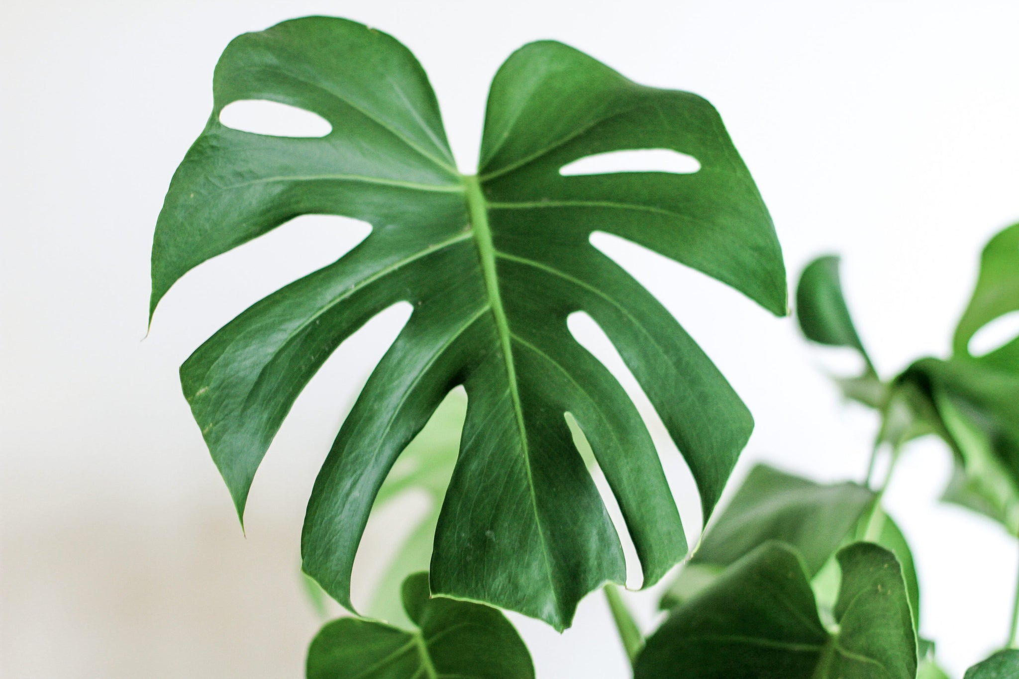 Why Your Monstera Plant S Leaves Have Holes Plant Care Blog