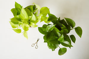 Bird's eye view of two Pothos plants and pruning scissors