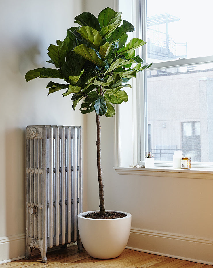 The Sill houseplants: Fiddle Leaf Fig tree