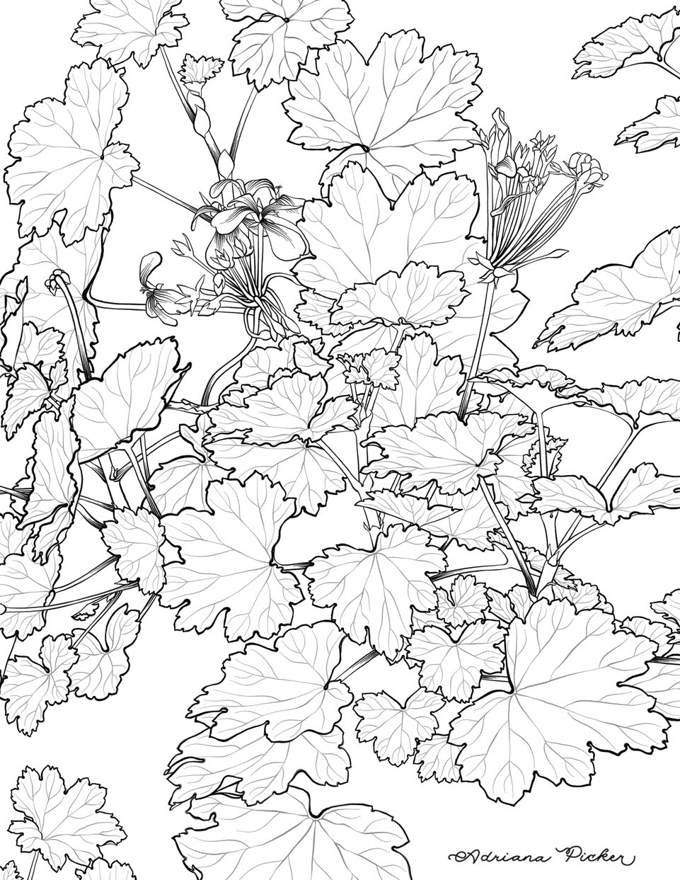 Geranium coloring page by artist Adriana Picker
