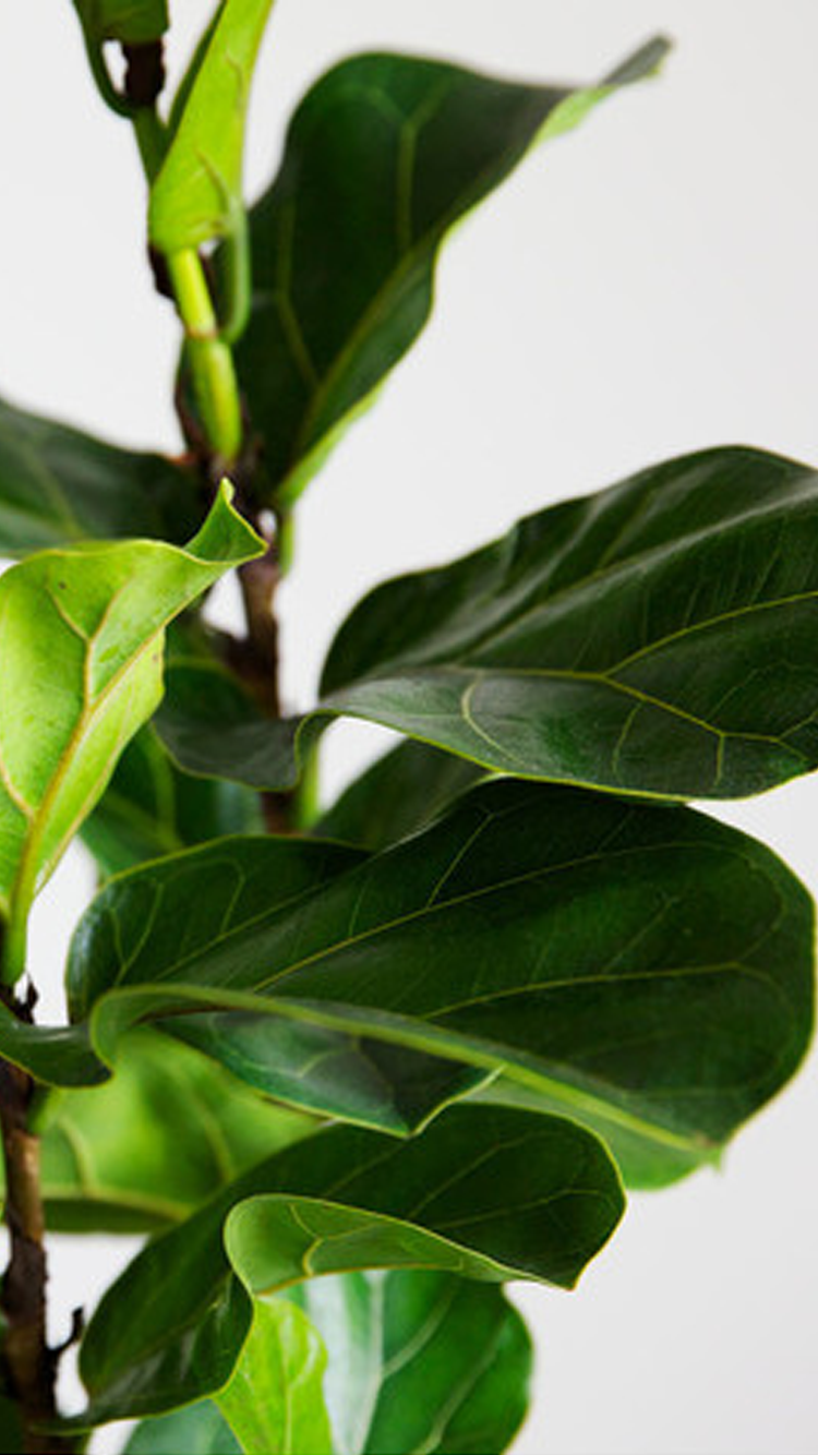 iPhone 6 Fiddle Leaf Fig Wallpaper Gift