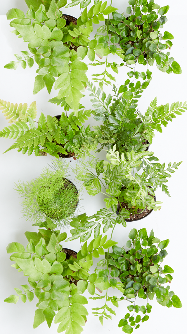 iPhone 5 Leafy Indoor Plant Wallpaper Gift