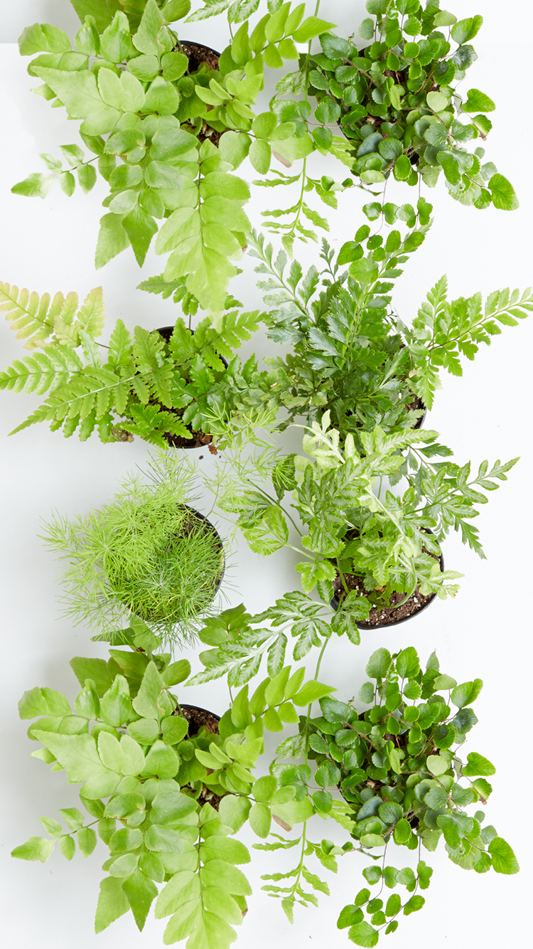 The Sill - Large Leafy Indoor Plant iPhone Wallpaper Gift