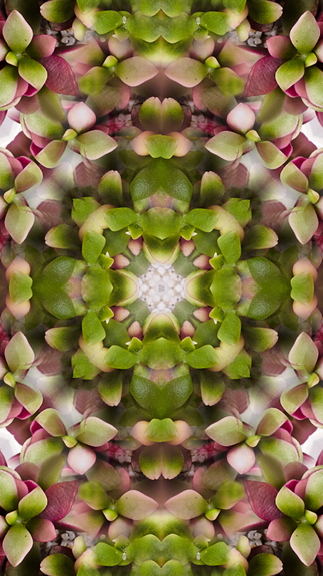 iPhone 5 Succulent Wallpaper Gift