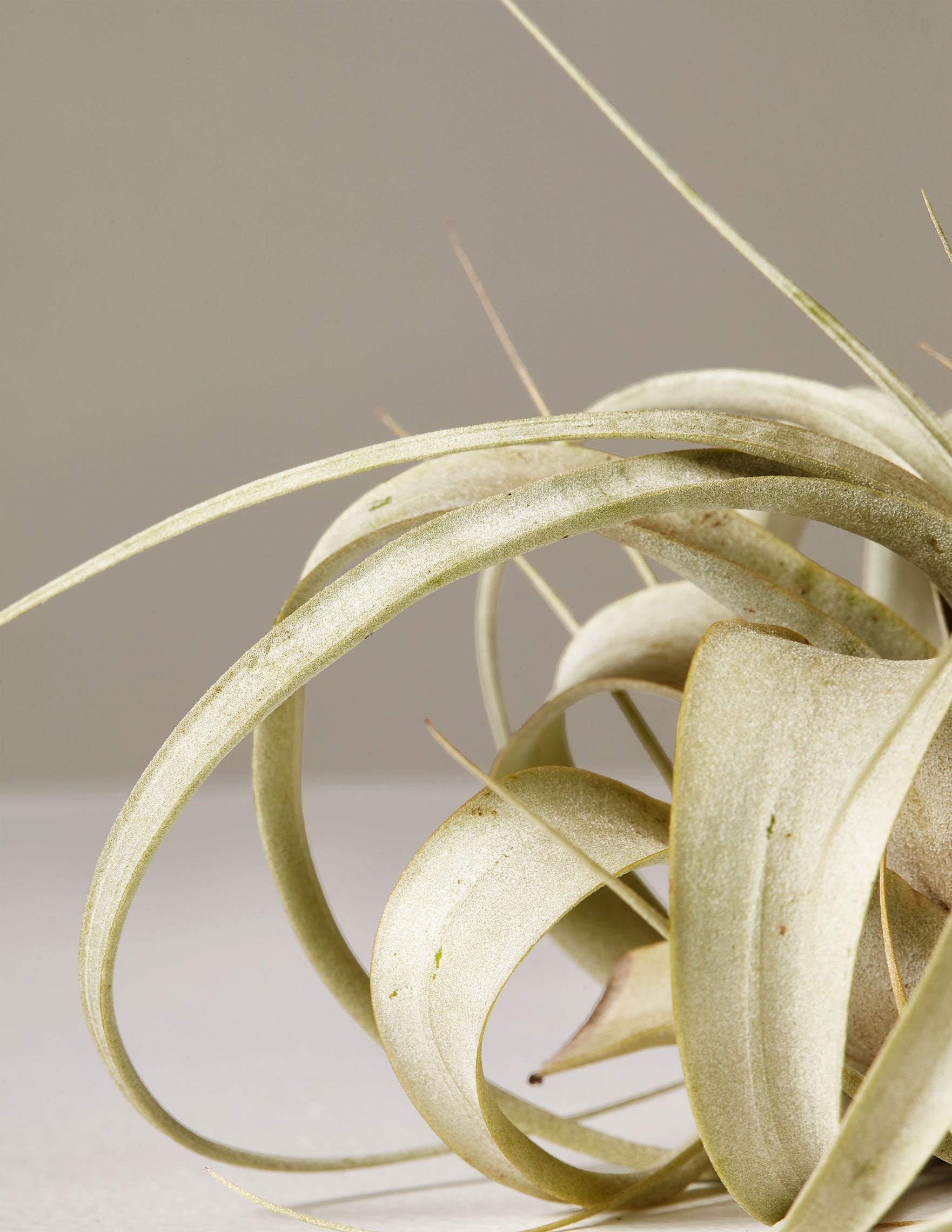 the sill air plant tillandsia xerographica full