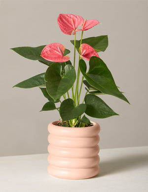The sill anthurium pink variant small dolores blush