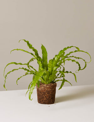 The sill bird s nest fern plant 1 4