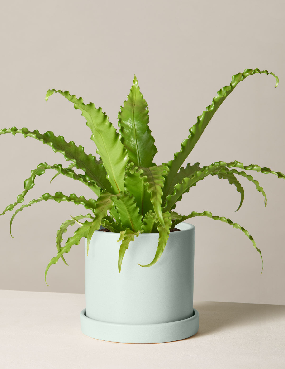 The sill birds nest fern variant medium hyde mint