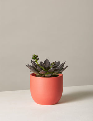 The sill echeveria preta variant small grant pale red