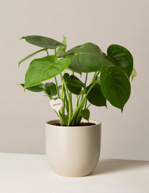 The sill monstera deliciosa medium grant planter plant poke dig you