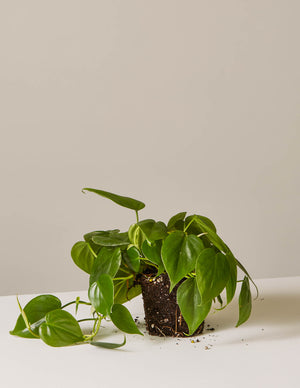 The sill philodendron plant green 1 4