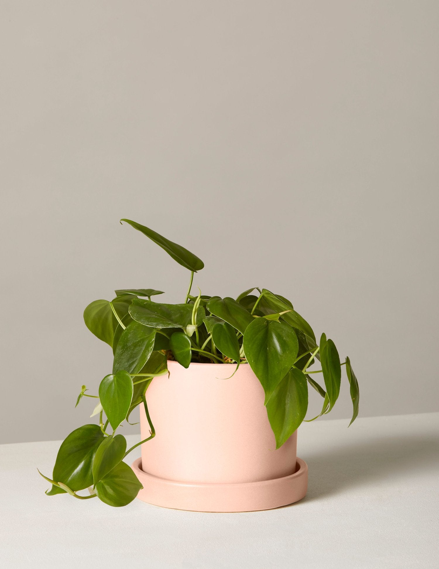 The sill potted plant philodendron sm hyde blush