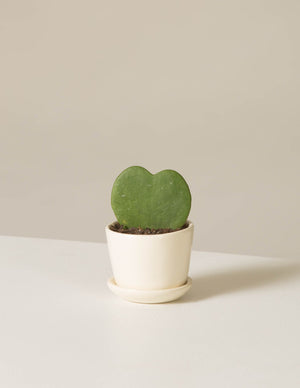 The sill potted succulent hoya heart ezra white