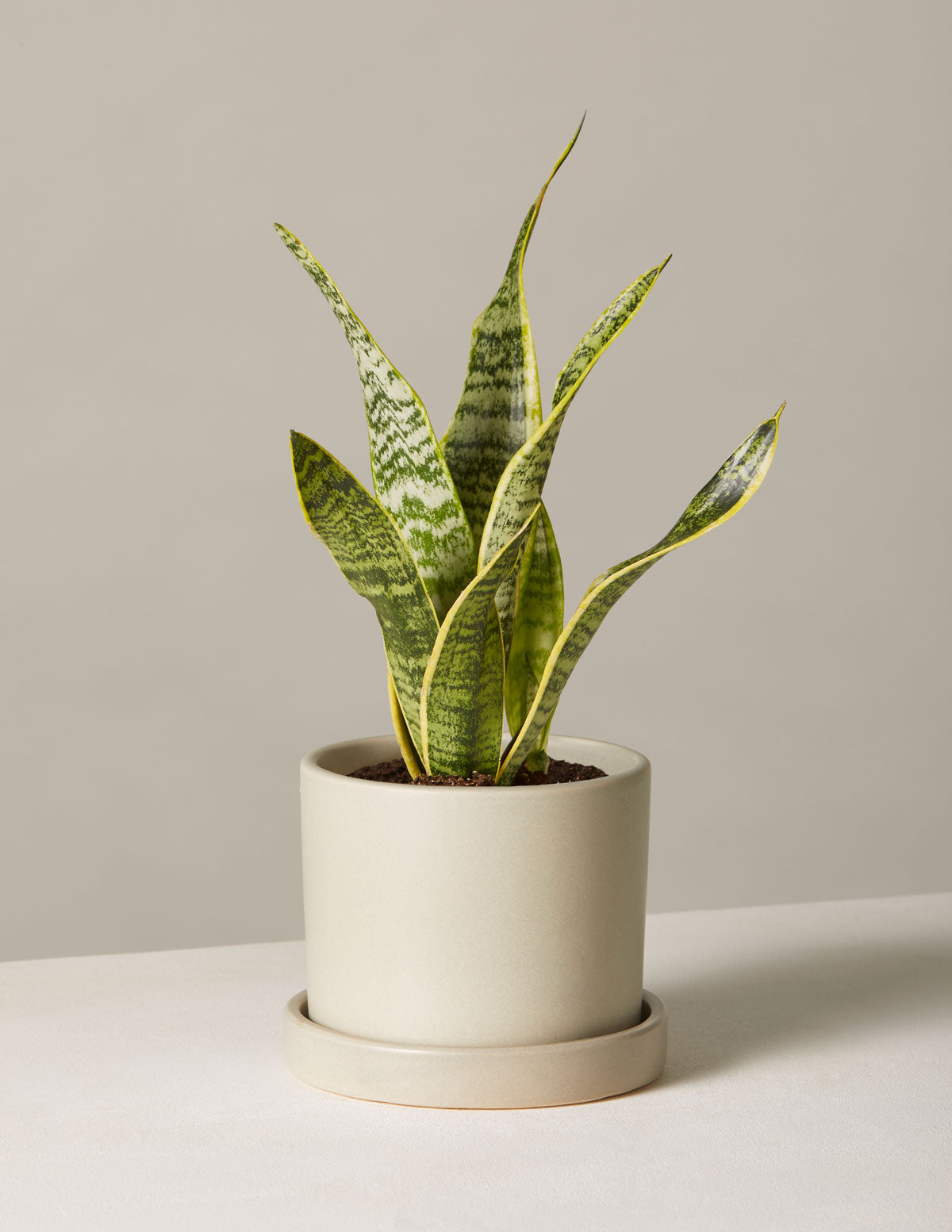 The sill snake plant laurentii variant small hyde pale grey