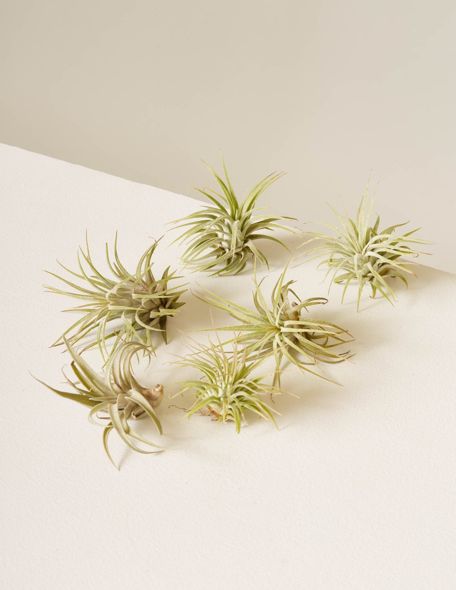 Six Assorted Air Plants - The Sill | Indoor Plants