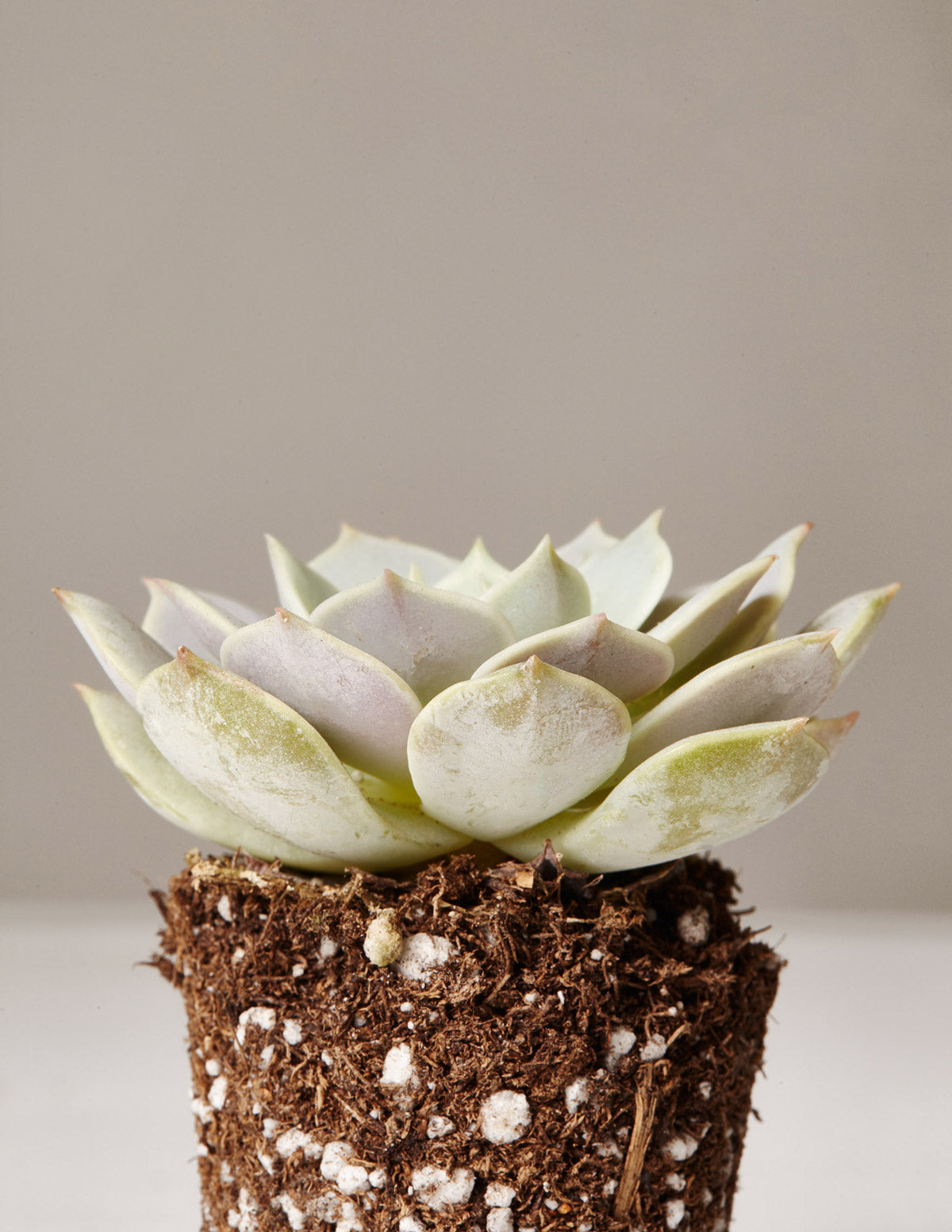 Echeveria Lola - The Sill | Indoor Plants