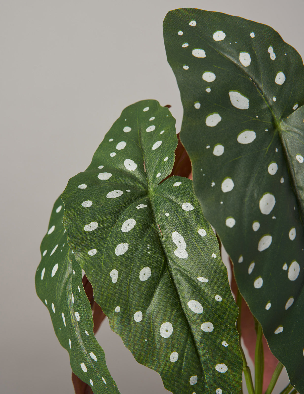 Faux Angel Wings Begonia - The Sill | Indoor Plants