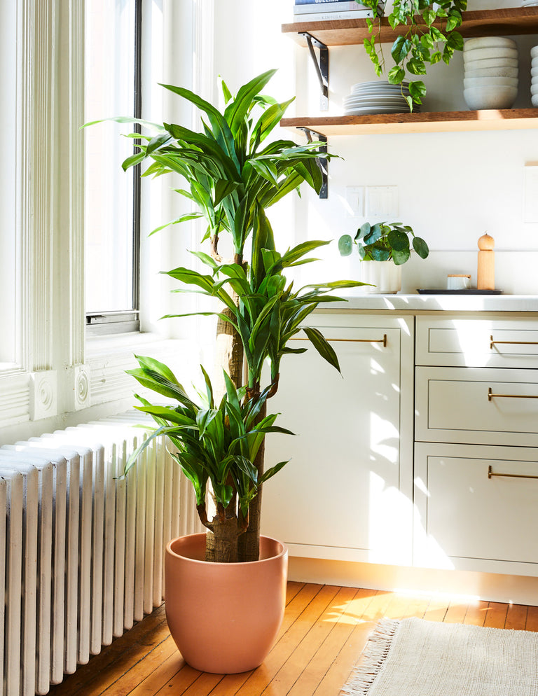Faux Draecena - The Sill | Indoor Plants