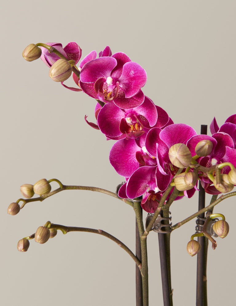 Orchid 101: Online Workshop - on May 19th at 6:00PM EST (Final Sale)
