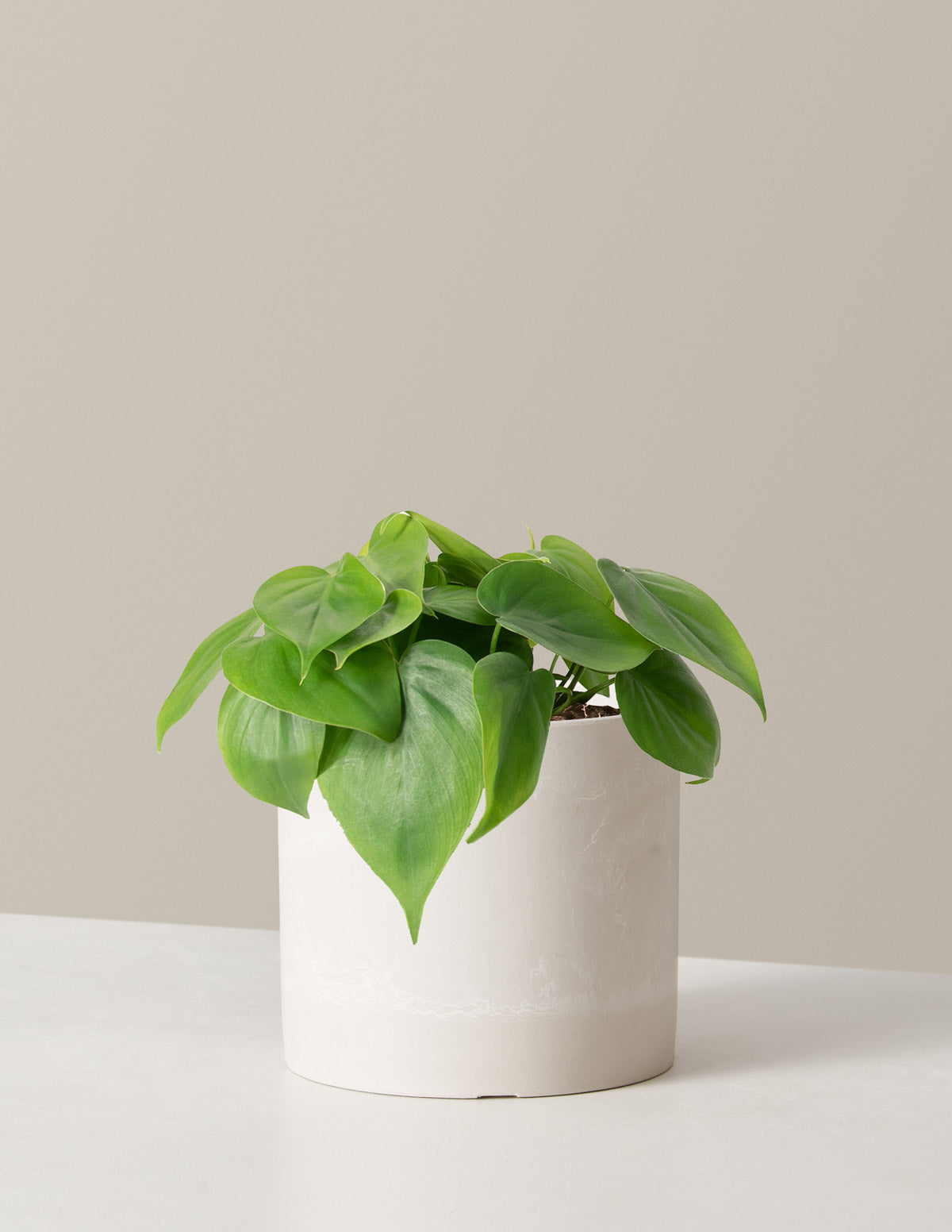 Philodendron Green