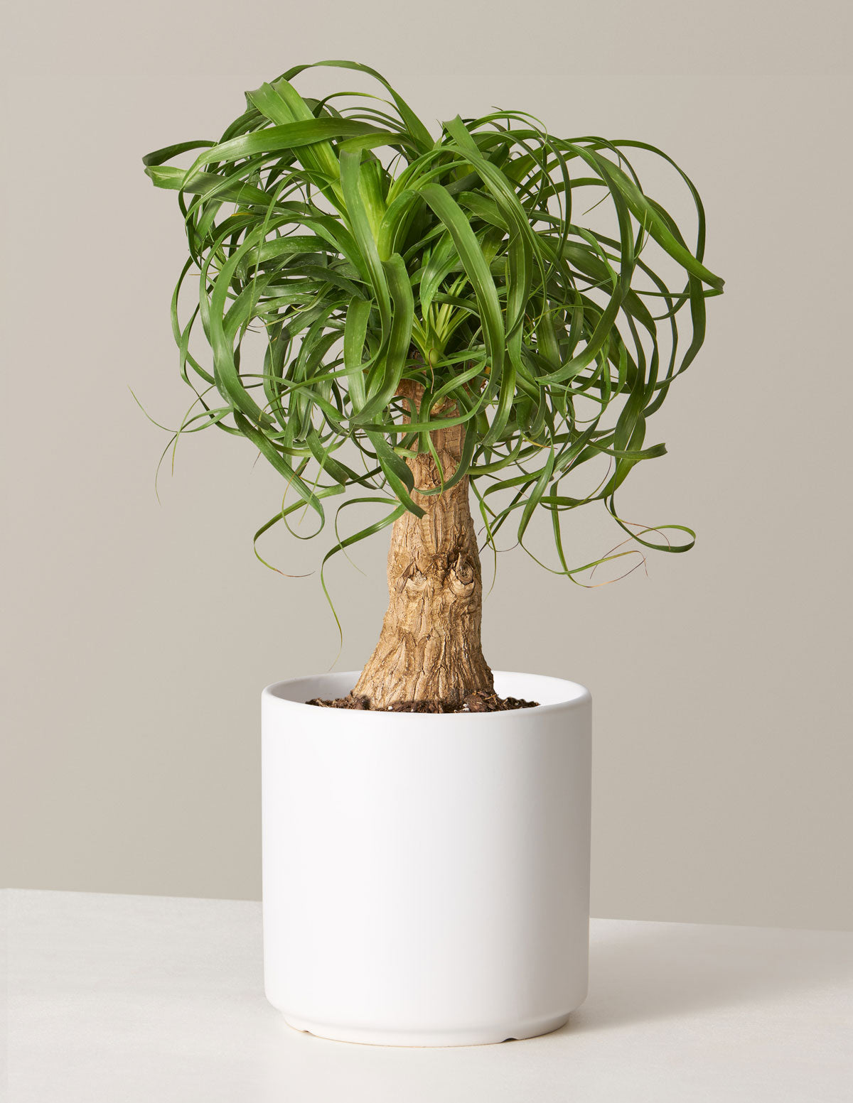 Ponytail Palm Houseplant Cyber Monday Indoor Plants For Delivery The Sill