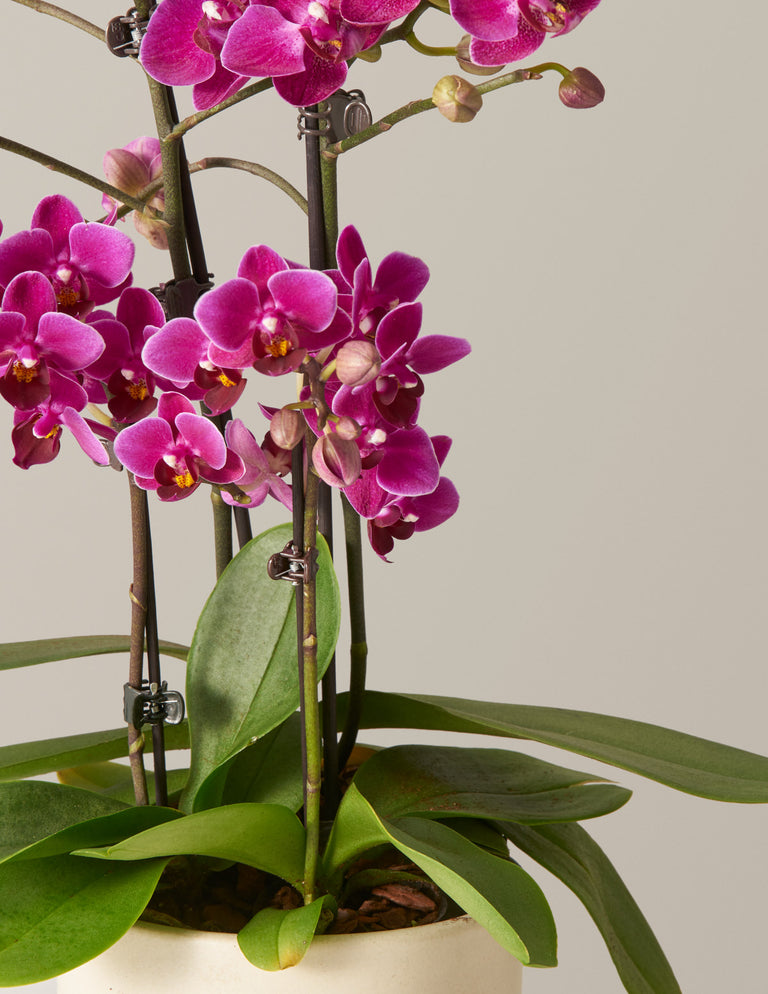 Phalaenopsis Orchid Blooming Houseplant Gifts Plants For