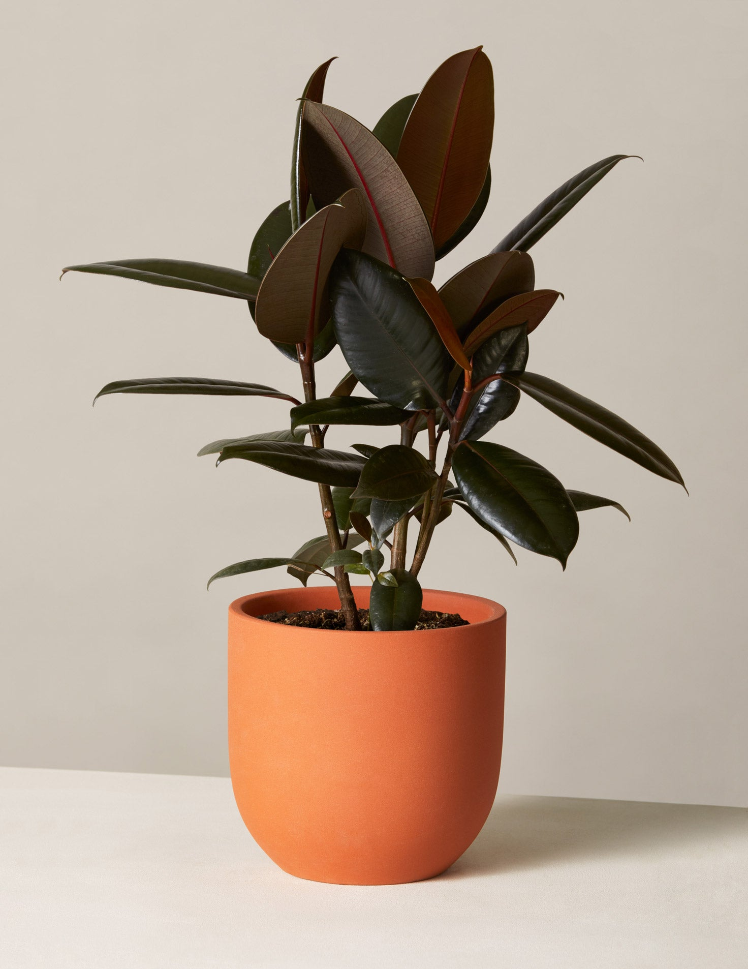 Rubber Tree Plant Tropical Indoor Plants Houseplants For Delivery The Sill
