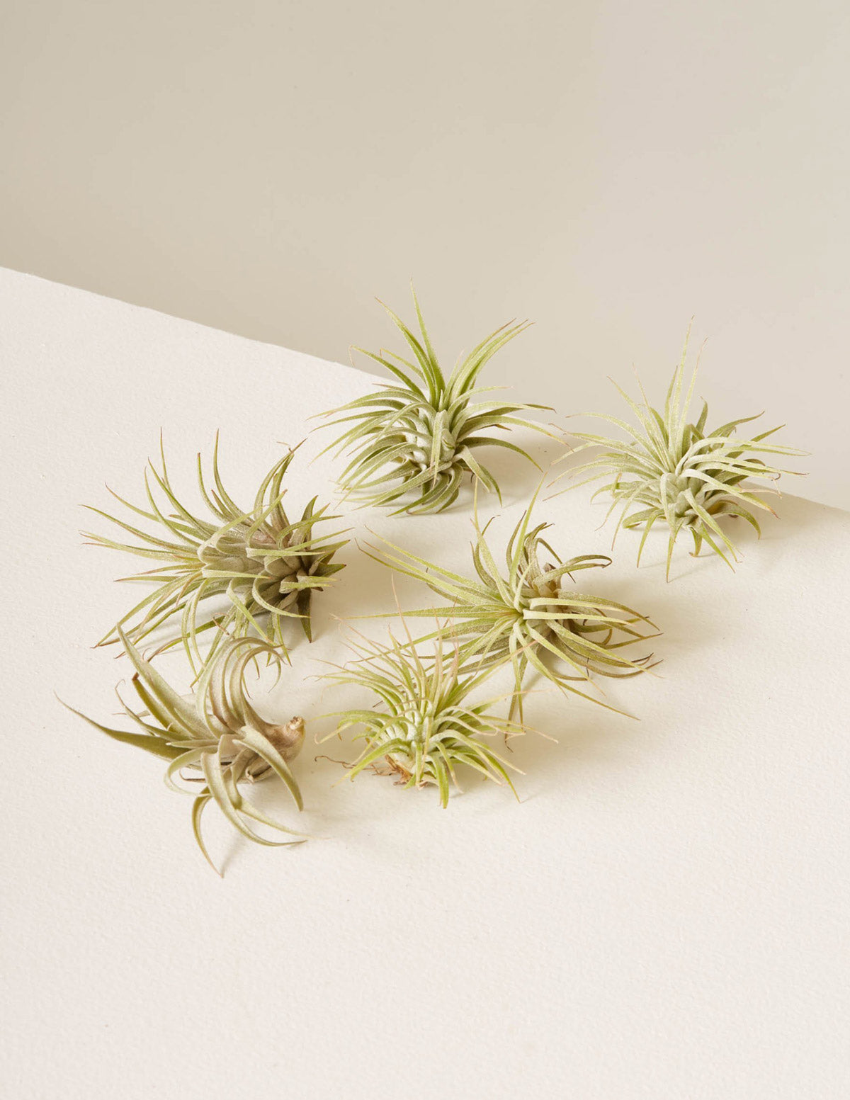 Six Assorted Air Plants